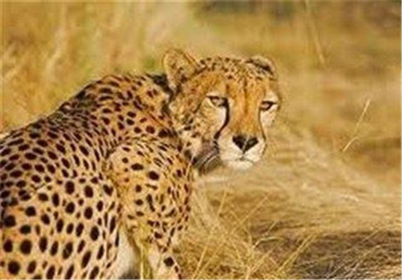 بیمه دانا یوزپلنگهای ایرانی را بیمه کرد