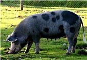 جمعیت خوک های چین 32 درصد کاهش یافت