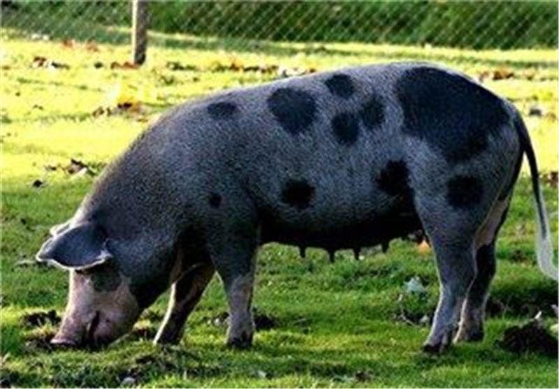 آغاز تحقیقات باروری ممنوعه در ژاپن/ تولید لوزالمعده انسان از طریق خوک! + عکس