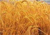 ایران 400 هزار تن گندم از روسیه و اروپا خرید