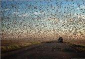 اختصاص 30 میلیارد تومان به وزارت جهاد کشاورزی برای مقابله با هجوم ملخها