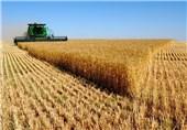 ارزوئیه قطب تولید گندم در کرمان است