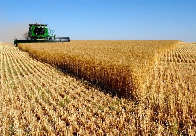 گندم کشاورزی