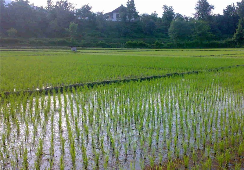برداشت مکانیزه برنج از 2527 هکتار شالیزارهای مازندران