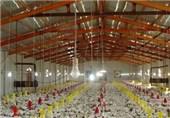 قم| کاهش جوجه ریزی توسط مرغداران ما را در آینده با بحران مواجه میکند