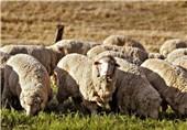 راهکاری برای توقف قاچاق دام؛ گاو و گوسفند پلاکدار می شوند
