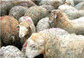 تصادف در محور ایلام - حمیل منجر به تلف شدن بیش از 50 راس گوسفند شد