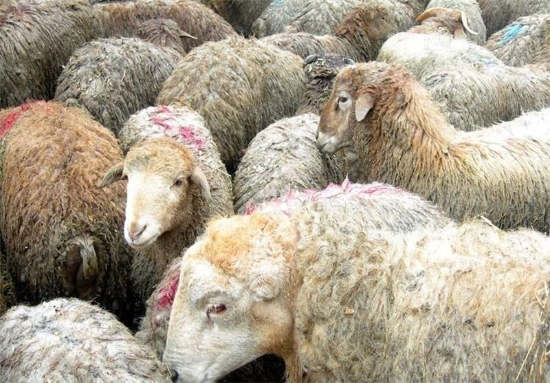 واردات گوسفند زنده از استرالیا بهزودی آغاز میشود