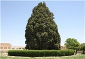 Iran to Nominate World's 2nd Oldest Tree for UNESCO Heritage List: Official