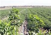 شهرستان سیریک، پیشتاز در تولید سبزیجات ارگانیک
