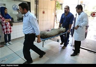 Dental Surgery on Persian Tiger