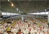 افزایش تعرفه واردات خوراک طیور با توصیه رئیس جهور لغو شد