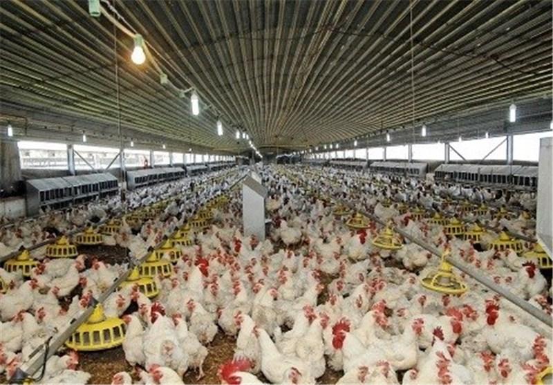 فعالیت 38 واحد مرغداری گوشتی در دهگلان