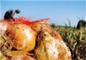 پیشبینی تولید 126 هزار تن پیاز از سطح مزارع خراسان شمالی