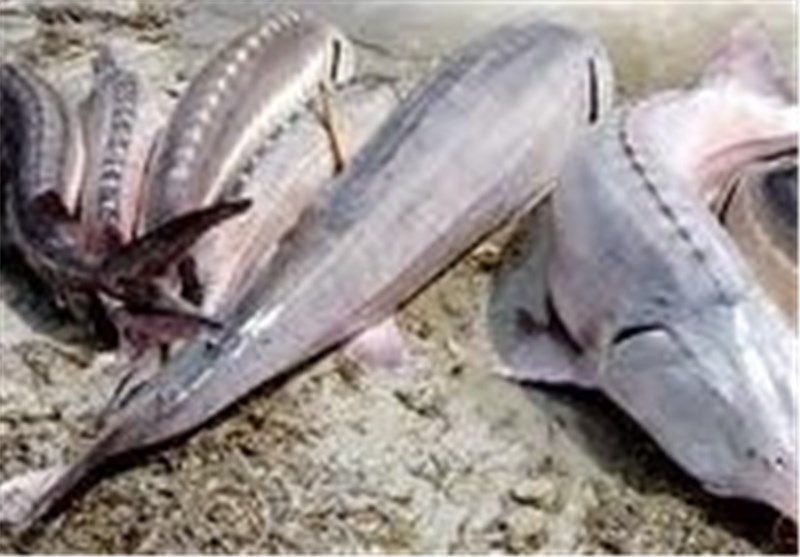 صید ماهی خاویاری 95 کیلویی در کیاشهر