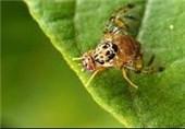 جولان مگسهای مدیترانهای در باغات گلستان/ باغداران چگونه جلوی خسارتهای بیشتر را بگیرند؟