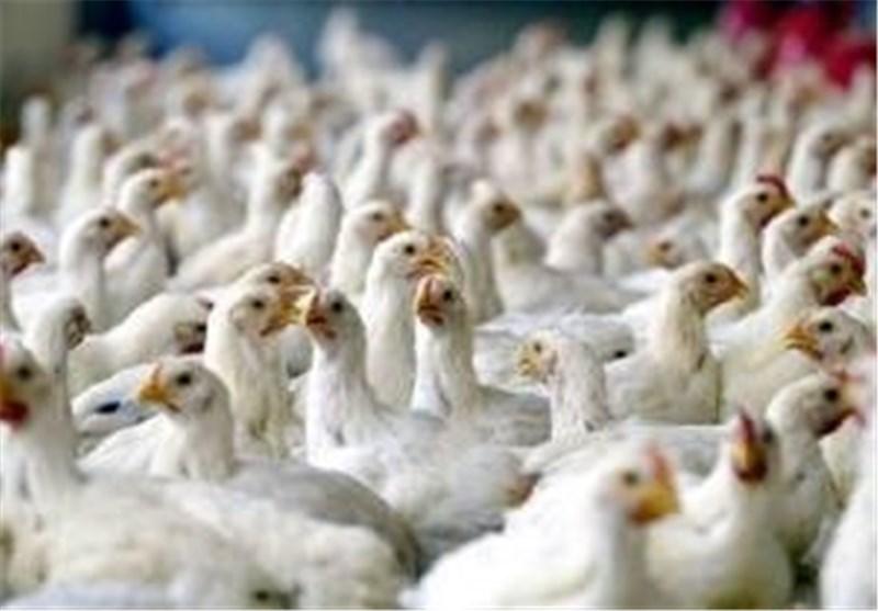 150 میلیون جوجه گوشتی در خطر مرگ+ سند