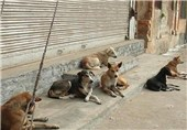 """مسئله """"سگهای ولگرد تهران"""" در حال تبدیل به یک بحران/ ضربه """"حامینماها"""" به امنیت شهروندان"""