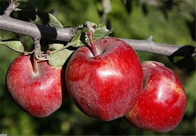 خبرگزاری تسنیم - سیب قرمز نامرغوب گرانتر از مرغوب