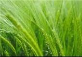 تولید بیش از 30 هزار تن گندم در رستم فارس