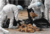 No Cases of Human Infection with H5N6 Bird Flu Reported in Iran: Official