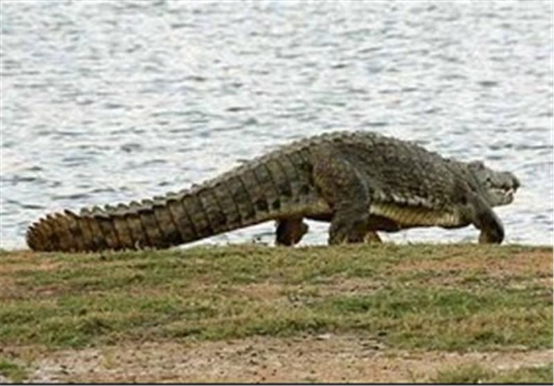 """پارک تمساح """"پوزه کوتاه"""" میزبان گردشگران در منطقه آزاد چابهار است"""