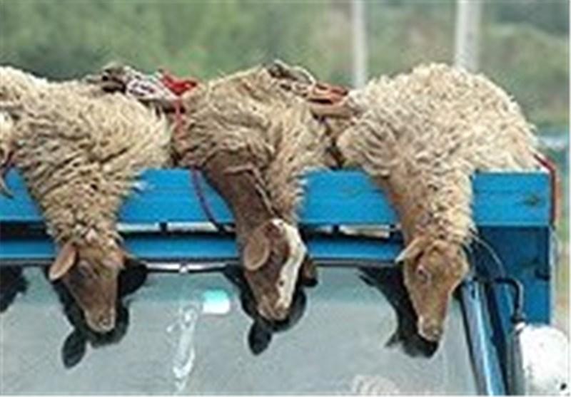 گرگ گرسنه به 48گوسفند یک دامدار زرندی حمله کرد