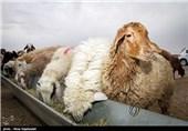 «کشاورزی»، ناجی اقتصاد|پرورش گوسفند جای سپردههای بانکی را میگیرد