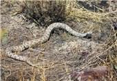 Evolution, Venomous Snakes: Diet Distinguishes Look-Alikes on Two Continents