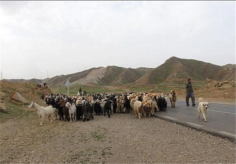 تسهیلات اجرای طرح پرواربندی دام عشایر خراسان شمالی اختصاص یافت