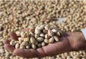 برداشت بیشترین محصول پسته کشور در واحد سطح در سمنان