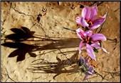 برندسازی زعفران از طریق بورس/معامله زعفران در بورس کالا