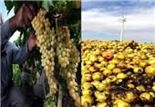 خسارت 283 میلیون ریالی سرمازدگی به محصولات کشاورزی لارستان