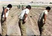 42 هزار هکتار گندم و جو در شهرستان کهگیلویه کشت میشود