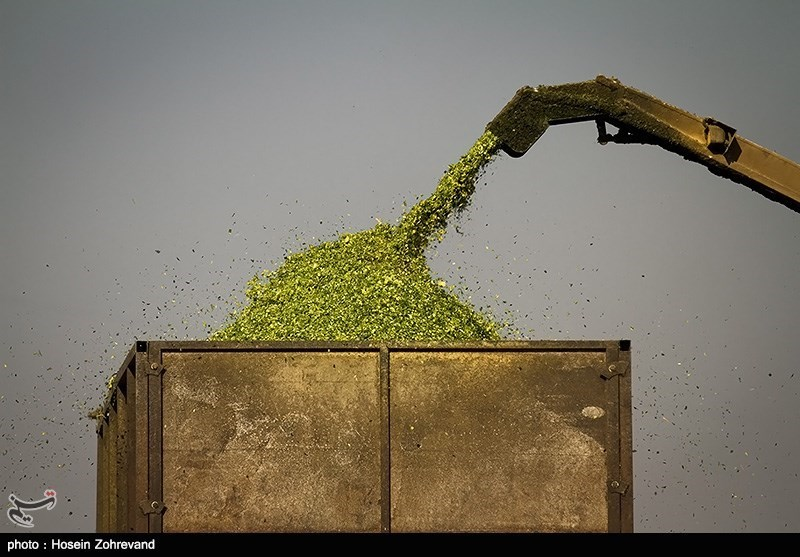 خرید جو و ذرت کشاورزان 10 استان در سال 95 به قیمت تضمینی