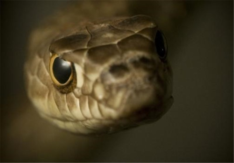 Snakes Control Blood Flow to Aid Vision