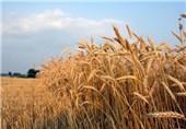 یکهزار هکتار از اراضی گناباد تحت بیمه محصولات کشاورزی هستند