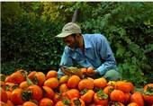 کاشان|280 تن خرمالو از باغات نیاسر کاشان برداشت شد