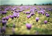 دزدی گنجینه زعفران ایرانی در خماری چشمان ناظران
