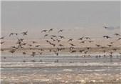 حکایت تراژدی تلخ خشکسالی تالاب کجی نهبندان/مهاجرت پرندگان کاهش یافت