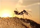 Ultra-Sensitive Machines Help Ants Measure Steps: Study