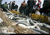 گرکان   مصرف ماهی در ایران با مصرف جهانی فاصله دارد