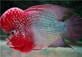 صادرات انواع ماهیان زینتی از استان مرکزی 28درصد رشد داشته است