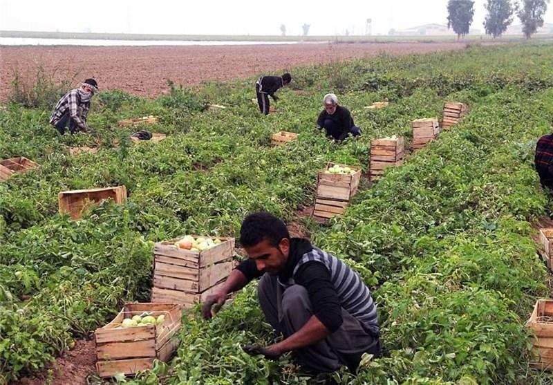 برداشت 55000 تن گوجه فرنگی در دیر بوشهر