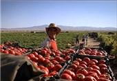 برداشت 96هزار تن گوجه فرنگی از مزارع بندرخمیر
