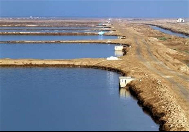 تولید 1400 تن غذای میگوی پرورشی در شهرستان گناوه