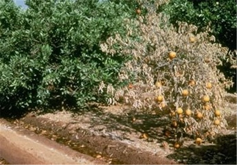 برداشت 2 هزار تن نارنگی از باغات چالوس