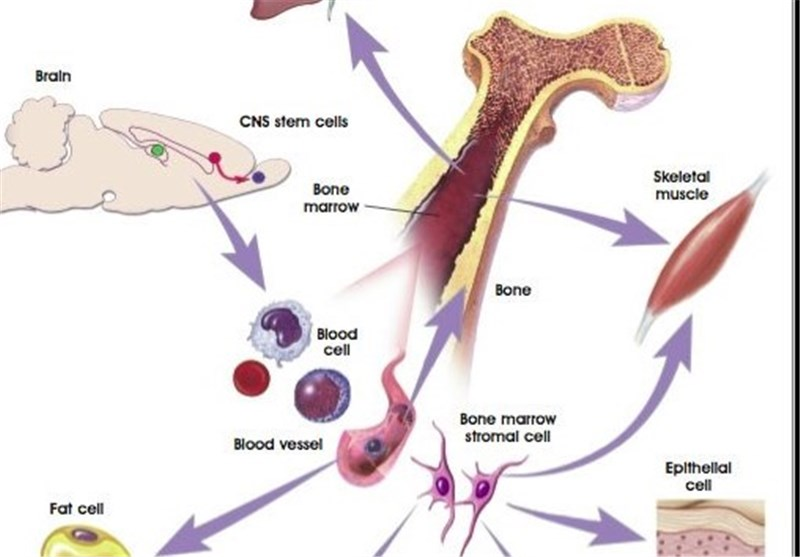 Scientists Develop Artificial Bone Marrow - Tasnim News Agency