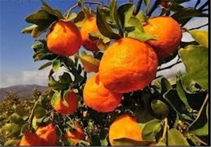 کمبود نارنگی در اصفهان/ موانع واردات میوه برداشته شود
