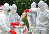 Japan Culls 42,000 Chickens after Second Bird Flu Outbreak